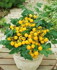 Vegetable seeds- Yellow Potted Cherry Tomato