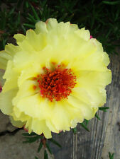 Yellow Sun Plant Seed 200 Seeds Portulaca Grandiflora Heronsbill Flower Hot A042