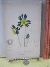 Vintage Print,WINTER ACONITE,Wild Flower Great Britain,1863-66,Gower+Smith