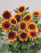 Sunflower Seeds - RING OF FIRE - Helianthus - RARE ANNUAL FLOWER - 10 Seeds