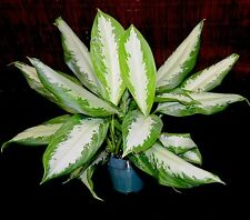 "Aglaonema Silver Bay 6"" Pot Chinese Evergreen Excellent Tropical House Plant"
