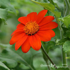 RED MEXICAN SUNFLOWER Tithonia Speciosa Flower Seeds  (10 seeds) F-196