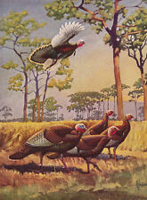 Wild Turkeys by F.L. Jaques vintage 40s print