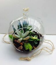 DIY globe hanging succulent terrarium kit with real succulents, soil, rocks mos