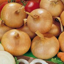Onion Stuttgarter Riesen ' Giant ' - Appx 250 seeds - Vegetable