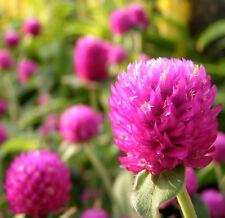Rosea Hort Seed 30 Seeds Gomphrena Thousand Days Powder Flower Garden Seeds A199