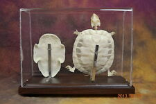 real Red-eared slider skeleton taxidermy good specimen