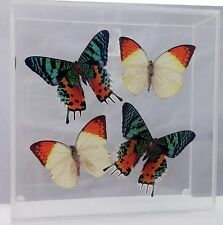 """'Sunny Side Up"""" Real Butterfly Museum Quality Display -  Madagascar Sunset Moth"""