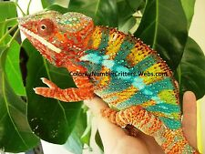 Hatch your own Chameleon Live Lizard Reptile