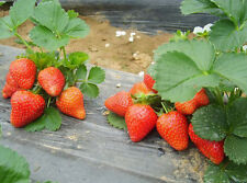 Strawberry Seed 100 Seeds Strawberries Organic Bulk Seeds S004
