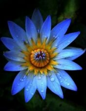 Rare Sacred Blue Lotus(Nelumbo Nucifera) Flower 8 Seeds, Good Germination,