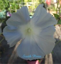 Summer Rain - Japanese Morning Glory - 5 Seeds - ipomoea Nil - LIMITED Quantity!