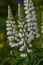White Lupin - Lupinus albus - 5+ seeds - WONDERFUL and FINE!