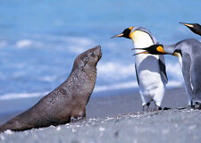 King Penguins and Fur Seal - 3D Lenticular Postcard Greeting Card