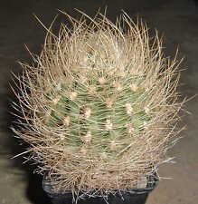 Eriosyce gerocephala 1290 Chile Cactus Plant Copiapoa Ariocarpus Astrophytum