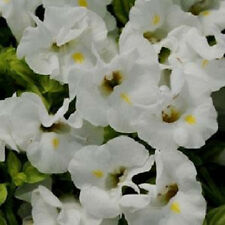 Torenia Seeds Kauai White Seeds 50 Pelleted Seeds