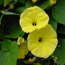 Flower seeds 100pcs Yellow Morning Glory Seeds Home Garden Yard Decoration Plant