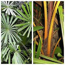 Rare Golden Fan Palm - LICUALA AURANTIACA - 5 x Fresh Seeds - Tropical Palm Tree