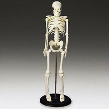 "Miniature Human Skeleton/Skeletons, 16.5"" tall, New"
