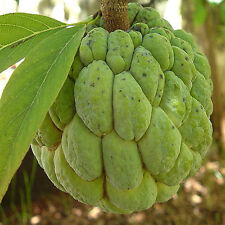 Annona squamosa SUGAR APPLE Easy to Grow Tropical Fruit, ~ONE GALLON PLANT~