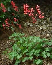 Heuchera sanguinea 'Leuchtkafer' or 'Firefly' / Hardy perennial / 1000 seeds