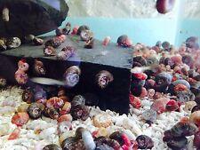 Tropical Red Ramshorn Snail x 10