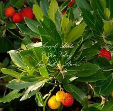Arbutus unedo 10 Seeds Strawberry Tree Tropical Evergreen Container or Bonsai