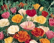 10,000 California Poppy Mission Bell Mix Poppy Seeds NURSERY SEEDS