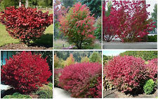 RED BURN BUSH 10 + SEEDS UNLIMITED SEED LISTINGS FOR FLAT RATE OF $1.99