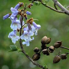 Blauglockenbaum - Paulownia tomentosa - 50+ Samen - SCHNELL und WUNDERBAR!