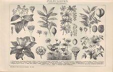 Lithografie 1898 POLYCARPEN. (Dikotyledonen: Choripetalen.) Zimt-Baum Lorbeer