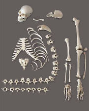 Human Skeleton/Skeletons Disassembled, 1/2 complete