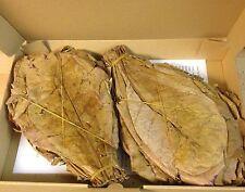 ANGEBOT  250 Gr. Seemandelbaumblätter 20-25cm (versandkostenfrei) Catappa Leaves