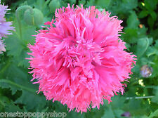 100 Poppy Flower Seeds Pink Feathers Poppies Papaver Laciniatum Feathery #44
