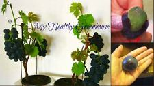 SEEDS - VERY RARE Japanese Dwarf Kyoho (Vitis vinifera) Deep Purple Grape!