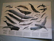 VINTAGE WHALES OF THE WORLD + THE GREAT WHALES MAP National Geographic 1976 MINT