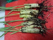 4 LIVE  Rooted and Sprouted Lemongrass Stalks Cymbopogon Herb Sereh Plant