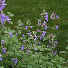 50 Catnip Seeds Cat mint Nepeta cataria Herbs Organic