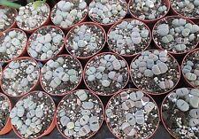 LITHOPS TERRICOLOR - 8.5 cm pot of individual plants.