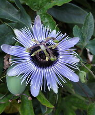 "Blue Bouquet Passion Flower Plant -Passiflora - 4"" Pot"
