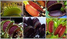**VENUS FLYTRAP 60 SEEDS OF SUPERB GIANT VARIETIES!** NEW 2016