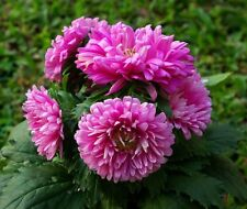 Flower seeds - DUCHESS CORAL PAEONY ASTER Flower Seed