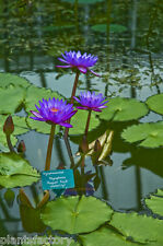 Nymphaea August Koch Sea Blue Tropical Water Lily Tuber Rhizome BUY2GET1FREE*