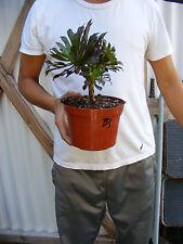 Aeonium Black Rose Succulent Plant -B3