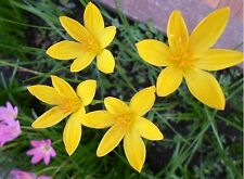5 Bulbs Zephyranthes Rain Lily Fairy Lily Little With Yellow Flower Rare Plant