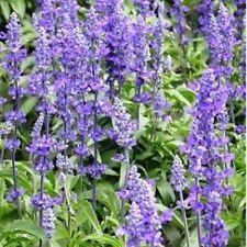 Salvia- Blue Sage (Salvia Farinacea) - 200 Seeds