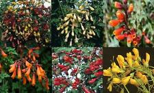 """Neuf: dazzling chilean glory vine """"feux d'artifice's mixed seed"""