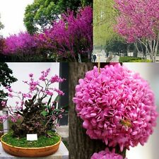 30x Judas Tree Bonsai Seeds - Cercis Siliquastrum Flower Redbud - SOW ALL YEAR