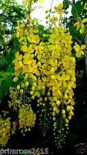 Cassia fistula golden shower tree Ornamental tree Yellow ,Kanikonna 20 seeds