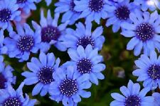 50 THE BLUES BLUE DAISY FELICIA Heterophlla Kingfisher Flower Seeds *Comb S/H